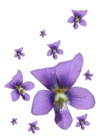 58_violet-1.jpg